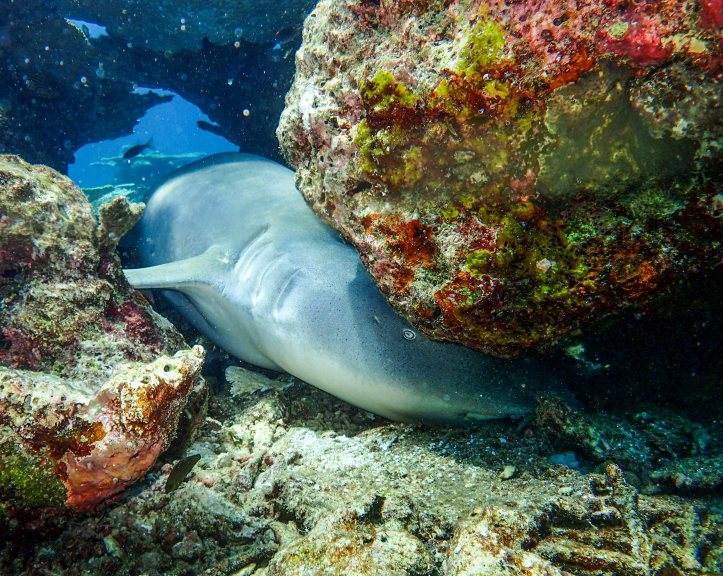 Nurse Shark, Maldives